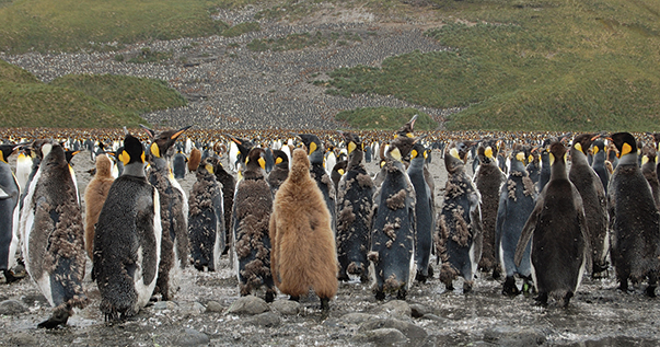 King penguins on Salisbury Plain; chicks at varying stages of maturity crowd with the adults