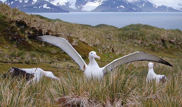 Courting great wandering albatrosses
