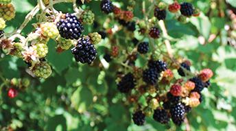 A surfeit of blackberries!