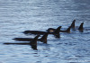 Killer Whales -- Rachel Elliott Photography