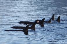 Killer Whales -- Rachel Elliott Photography