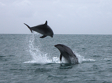 More dolphin acrobatics on the way back towards Opua