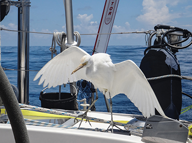 Cattle egret tries to perch on the mainsheet