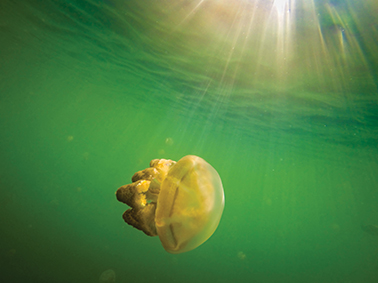 A lone jelly in Jellyfish Lake