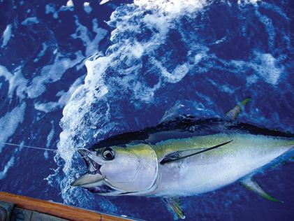 Yellowfin tuna caught in the Gulf Stream