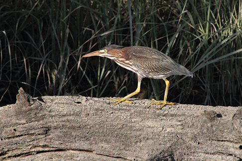 Green Heron, La Trappe Creek