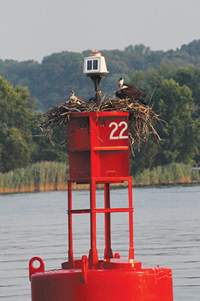 Osprey family in C and D Canal
