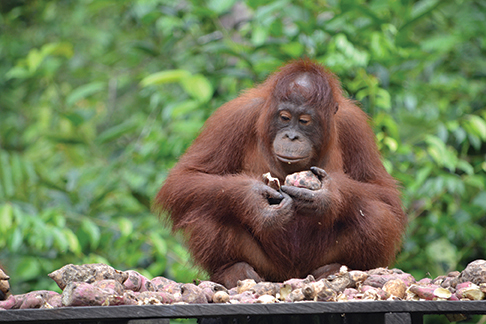 Orangutan meal time Tanjung Puting national park, Borneo