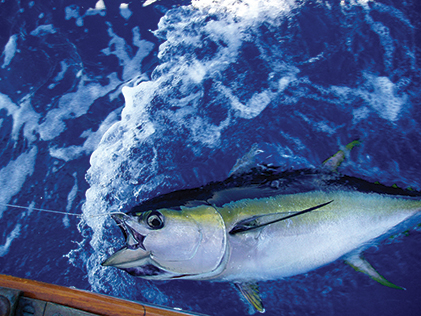 Yellowfin tuna caught in the Gulf Stream