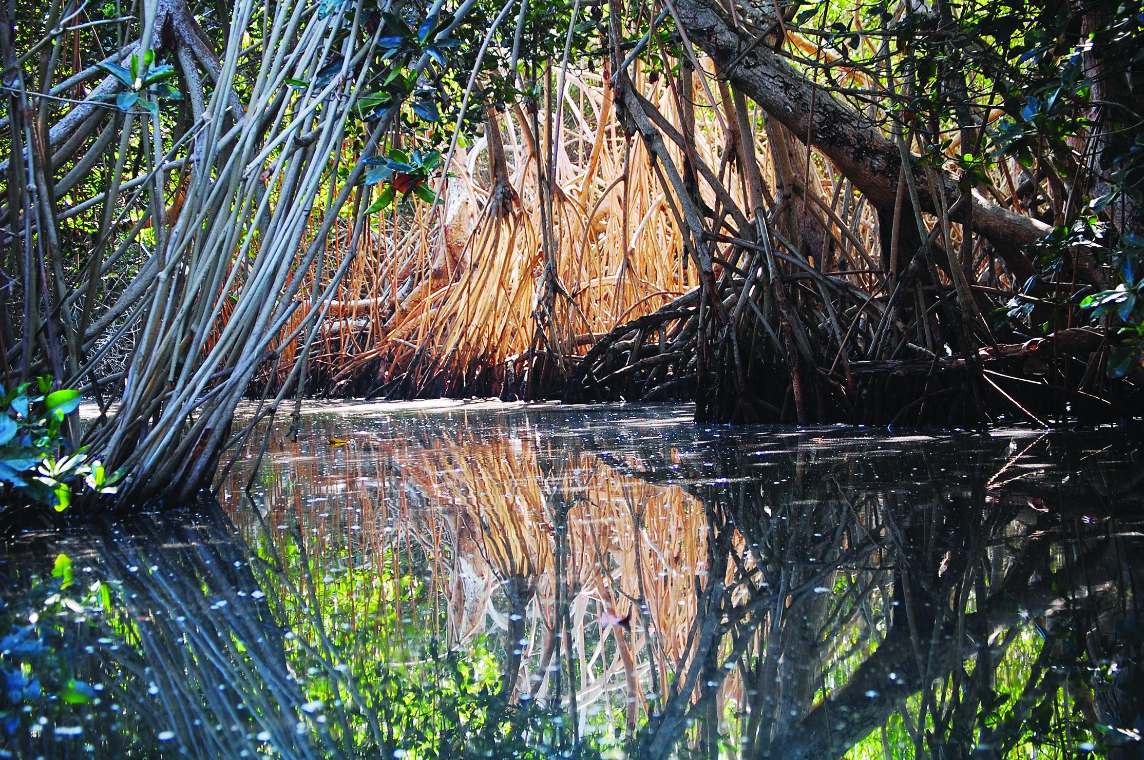 Thick-mangroves-line-the-dinghy-jungle-tour-at-Tenacatita