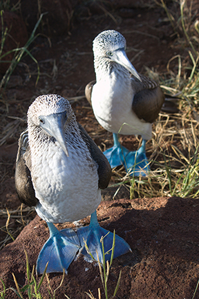 Blue-footed boobies are one of the more famous bird species of the Galapagos Islands