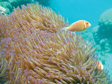 Anemone fish at Cod Hole