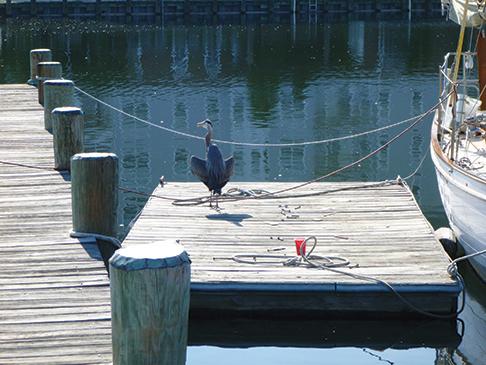 Great Blue Heron on Nahma's dock, Cambridge