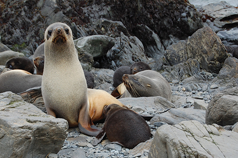 Seal cow and pup in Blue Whale Harbour