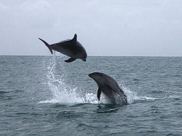 More dolphin acrobatics on the way back towards Opua