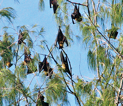 Fruit bats are often a part of the RRV-tranmission chain