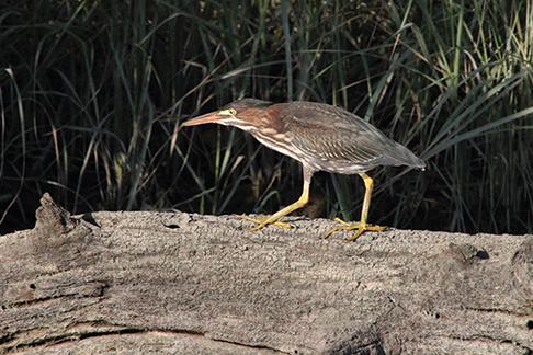 Green Heron, La Trappe Creek