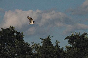 Osprey in La Trappe Creek