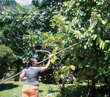 Reva, a local from Fatu Hiva, harvesting a pamplamouse as a gift