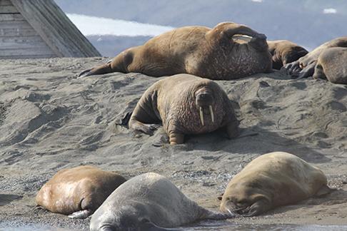 Walrus on Poole Point