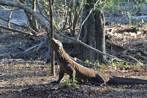 Komodo dragon sighting on Rinca