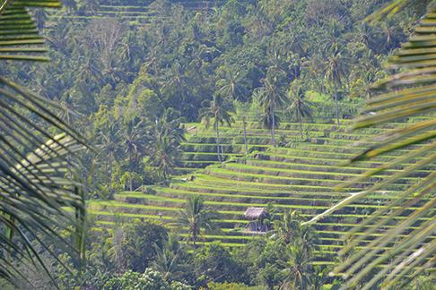 Rice paddies in Bali